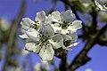 Pyrus pyrifolia (Shinko) inflorescence2.JPG