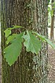 Quercus bicolor kz01.jpg