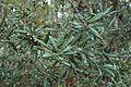 Quercus geminata (24116256701).jpg