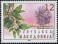 Quercus macedonia.jpg