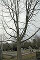 Quercus muehlenbergii (23797718989).jpg