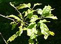 Quercus prinoides - Arnold Arboretum - DSC06951.JPG