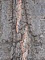 Quercus rubra 2017-09-03 3779.jpg