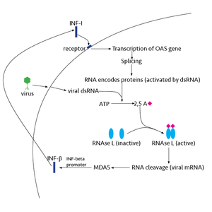 Ribonuclease L - RNase L activation pathway-IFN factors bind the receptor and lead transcription and modifications of OAS. Viral dsRNA binds OAS, so that 2'-5'A is produced leading to the dimerization of RNase L. Activated RNase L cleaves all RNA in the cell, which can activate MDA5 leading to interferon production.