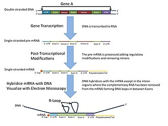 R-loop - An illustration showing how a DNA-mRNA hybrid forms R-Loops in the regions where introns have been removed through splicing exons.