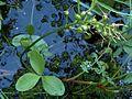 Raate Menyanthes trifoliata VI08 H5503 C.jpg