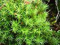 Raba-karusammal (Polytrichum strictum).JPG