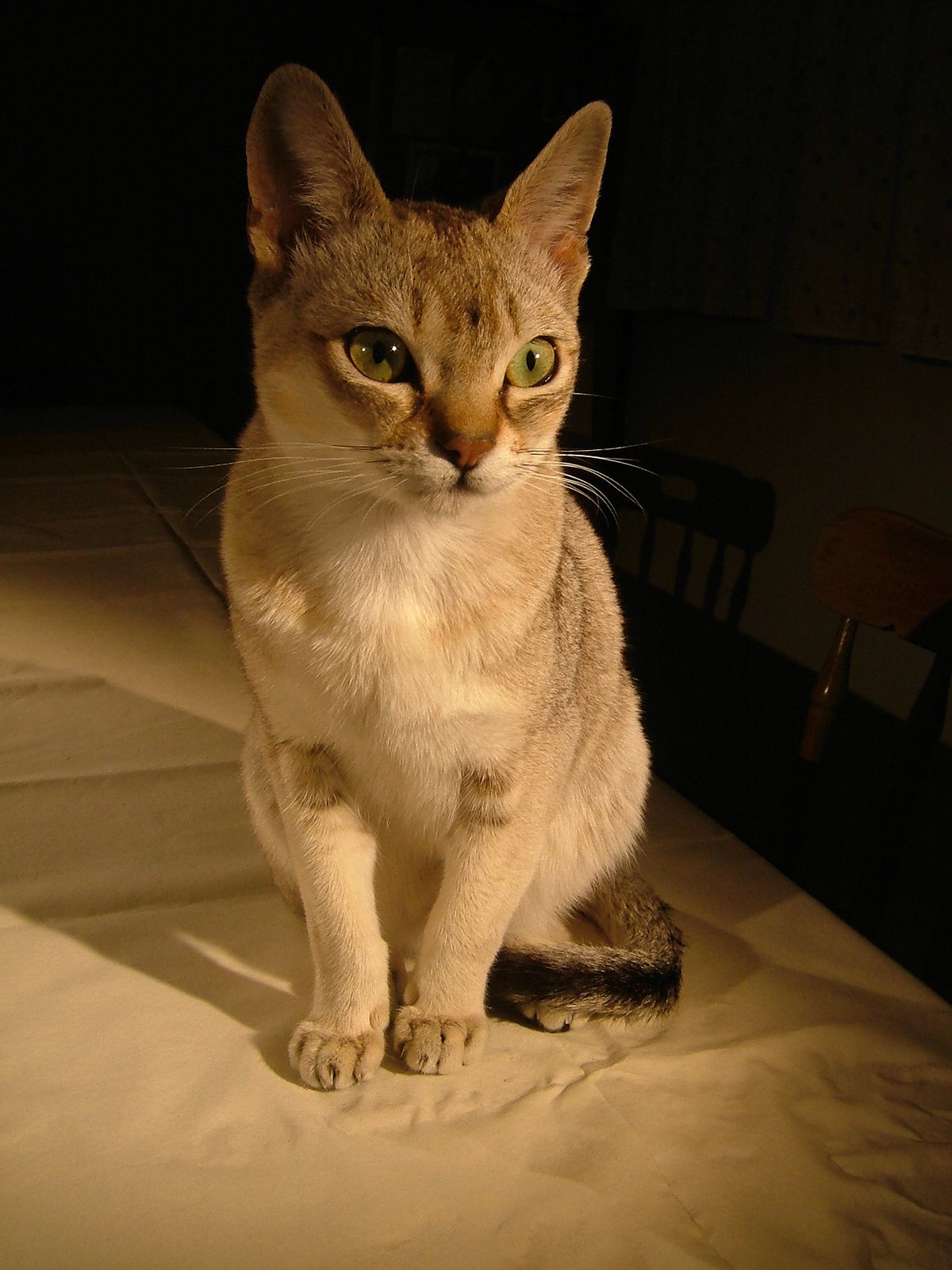 Singapura cat - Wikipedia