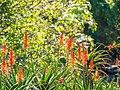 Rainbow lorikeet and Aloe sp inflorescences Arid Zone garden Brisbane Botanic Gardens Mt Coot-tha P1100027.jpg