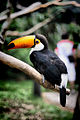 Ramphastos toco -perching on a branch-8a.jpg