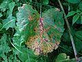 Ramularia rubella T91 (1).jpg