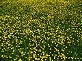 Ranunculus bulbosus 001.JPG