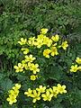 Ranunculus cortusifolius (17331397642).jpg
