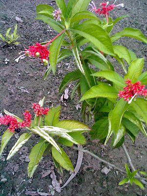 Rauvolfia serpentina - Image: Rauwolfia serpentina at talkatora gardens delhi