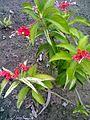 Rauwolfia serpentina at talkatora gardens delhi.jpg