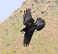 Raven 4 (3304082871).jpg