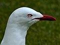 Red-Billed Gull (8128978926).jpg