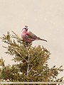 Red-Mantled Rosefinch (Carpodacus rhodochlamys) (43848011740).jpg