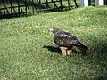Red-Tailed Hawk at San Francisco National Cemetery.jpg