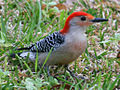 Red-bellied Woodpecker RWD2.jpg