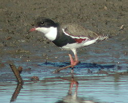 Red-kneed dotterel samcem02.JPG