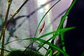 Red Fire Red Shrimp in aquarium 2.JPG