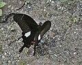 Red Helen (Papilio helenus) at Samsing, Duars, WB W IMG 6210.jpg