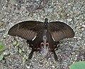 Red Helen (Papilio helenus) at Samsing, Duars, WB W IMG 6219.jpg