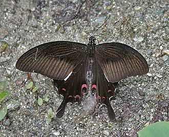 Papilio helenus - Image: Red Helen (Papilio helenus) at Samsing, Duars, WB W IMG 6219