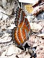 Red Lacewing Cethosia biblis.jpg