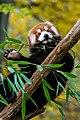 Red Panda (24677193818).jpg
