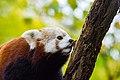 Red Panda (26773067209).jpg