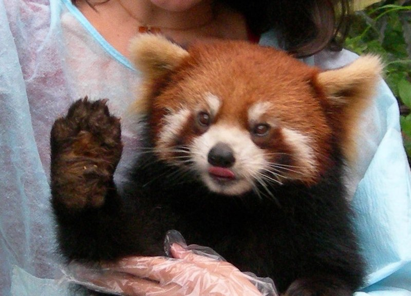 Now I have the red panda! - Page 3 800px-Red_Panda_Face