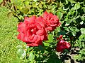 Red Rose flowers 25.jpg
