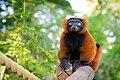 Red Ruffed Lemur (50349724113).jpg