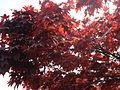 Red Tree (2484300724).jpg