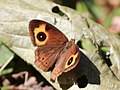 Red disc bush brown anamudi shola kerala IMG 2073.jpg