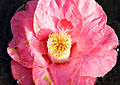 Red lily.jpg