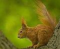 Red squirrel (43952333354).jpg