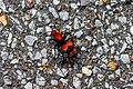 Red velvet ant (35426172133).jpg