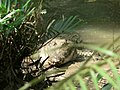 Reptile Salt Water Crocodile P1110400 01.jpg