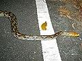 Reticulated Python (Broghammerus reticulatus) (7109813781).jpg