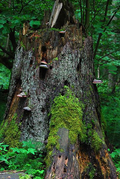 Rozkladače postupne rozložia odumretý strom