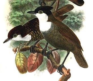 White-breasted antbird - Image: Rhegmatorhina hoffmannsi 1907