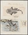 Rhina squatina - 1700-1880 - Print - Iconographia Zoologica - Special Collections University of Amsterdam - UBA01 IZ14100189.tif