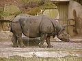 Rhinoceros unicornis at Tierpark Berlin.JPG