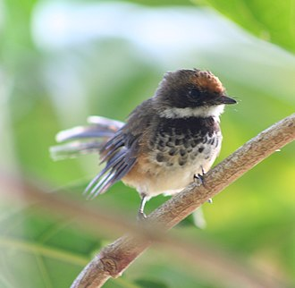 Rufous fantail - Perched adult in Saipan, Northern Mariana Islands.