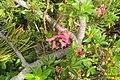 Rhododendron ferrugineum (Gru) (31845827281).jpg
