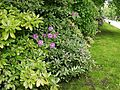 Rhododendron hedge in zoo tierpark friedrichsfelde berlin germany.jpg