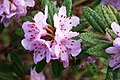Rhododendron hippophaeoides var. hippophaeoides.jpg